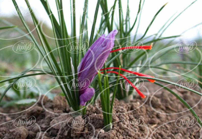 عرضه زعفران قائنات یک مثقال در دبی