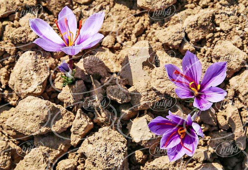 سود زیاد در صادرات زعفران به عراق